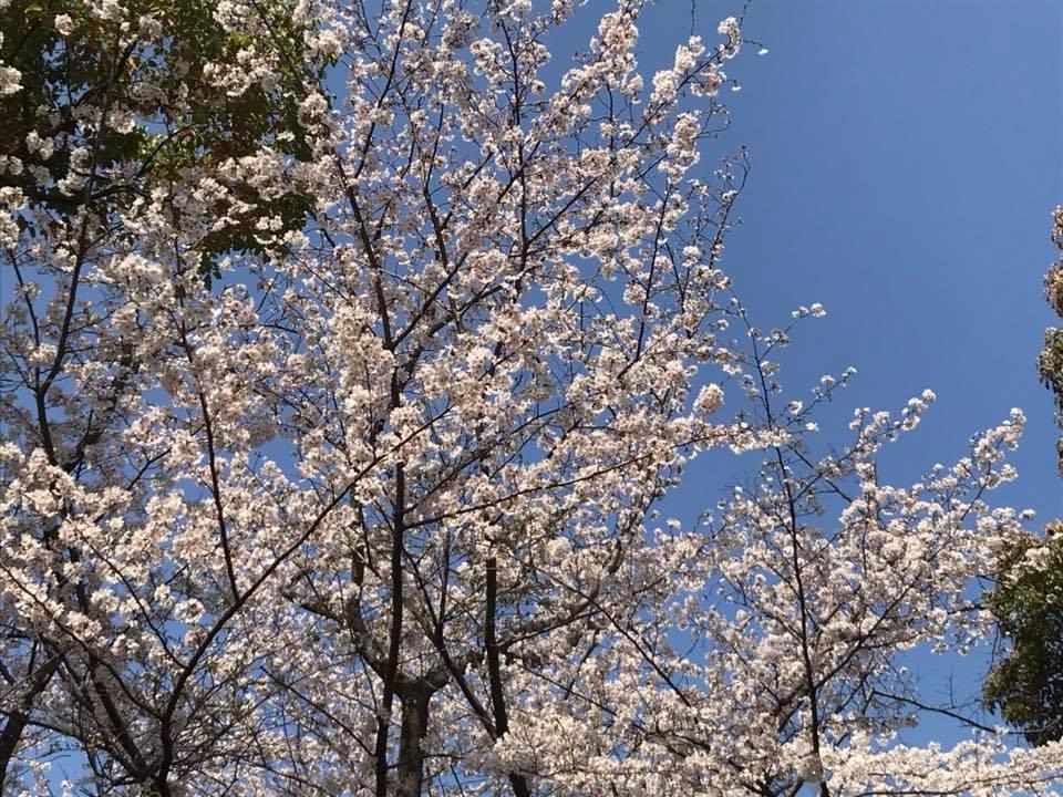 お花見パーティの桜