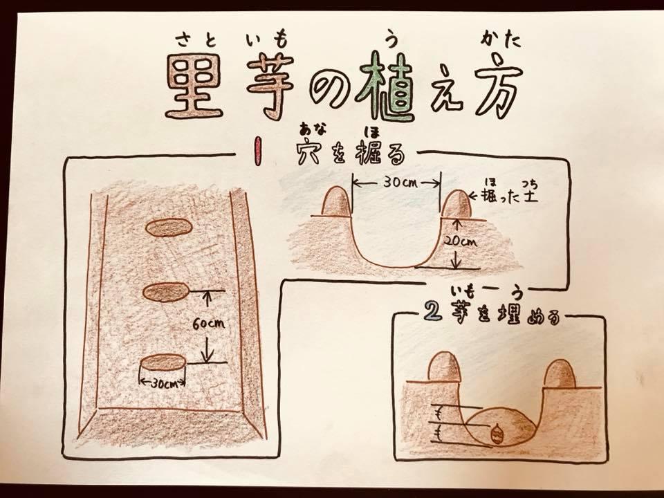 里芋の植え方