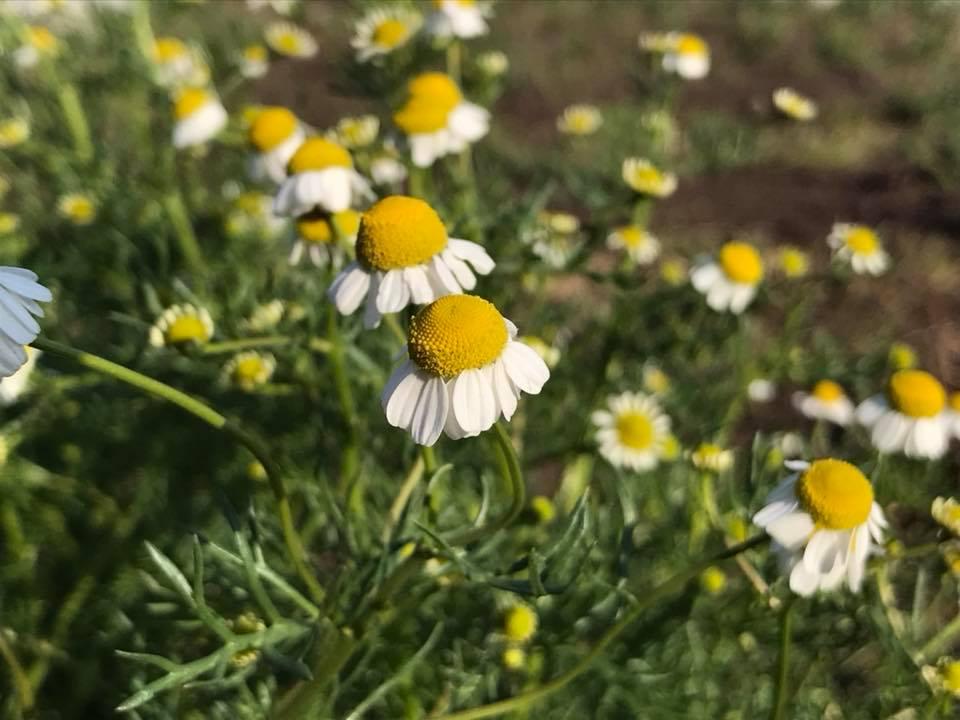 畑に咲いた草花