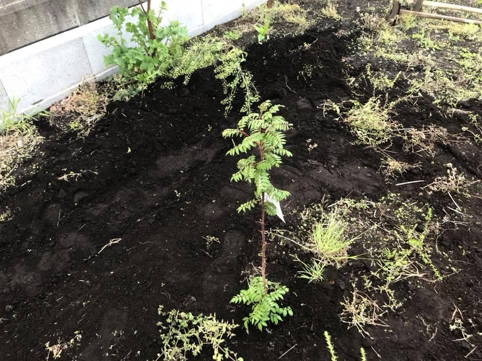 山椒を植え終わったところ