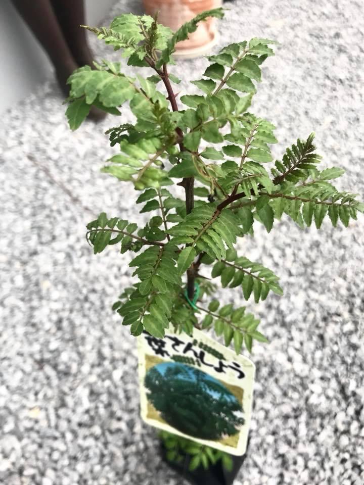 購入した山椒の木