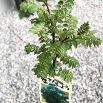【山椒ゲット!苗木を購入してきました】(2018/04/17)