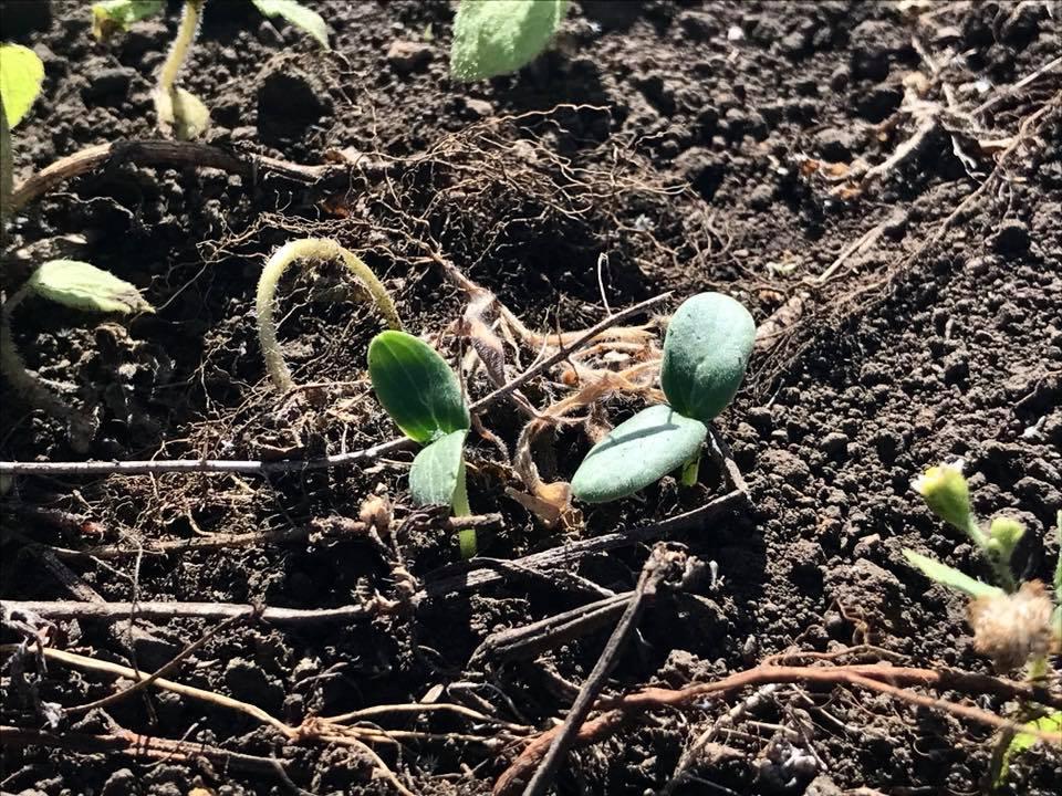 発芽した相模半白胡瓜