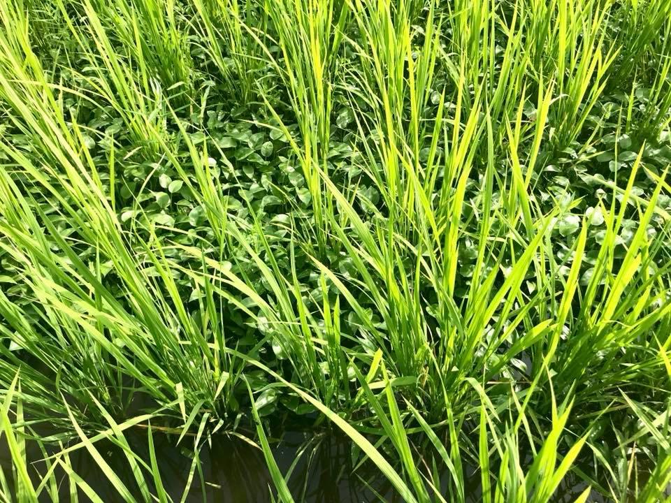 稲の間にびっしりと生えるコナギ