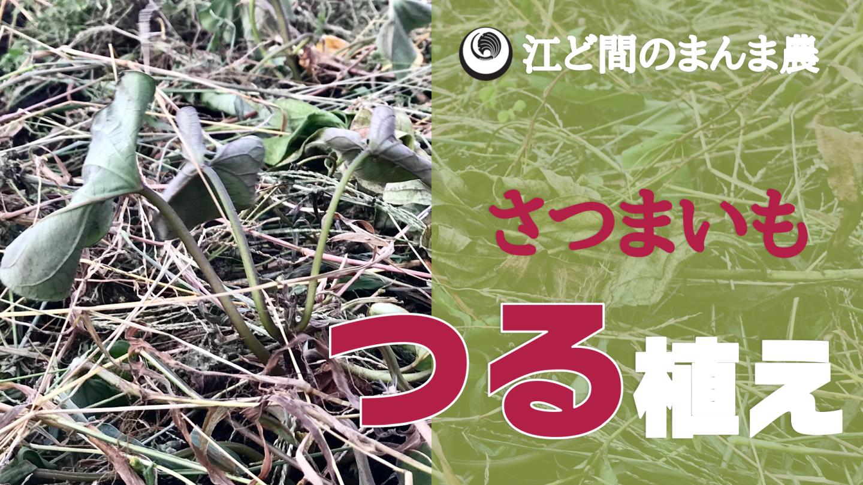 サムネイルさつまいもつる植え
