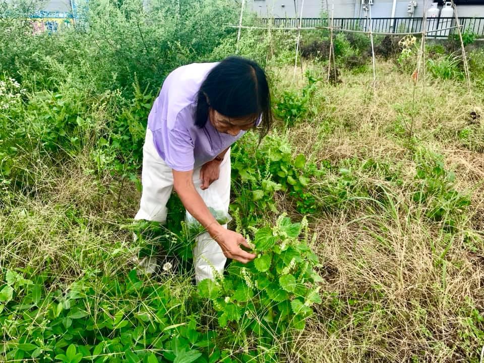 穂紫蘇を収穫しているところ