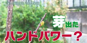 サムネイル-山椒新芽