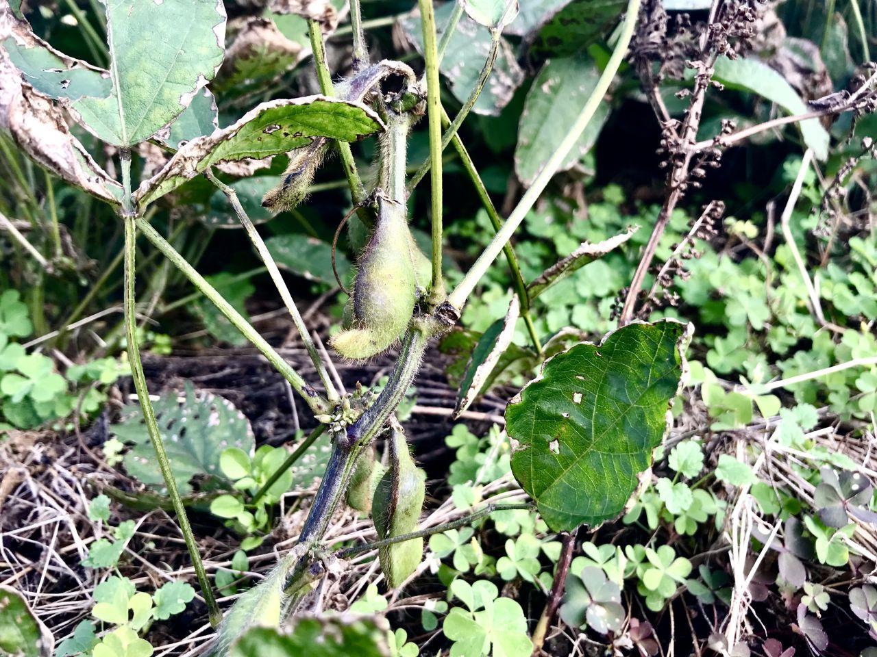 黒大豆の枝豆