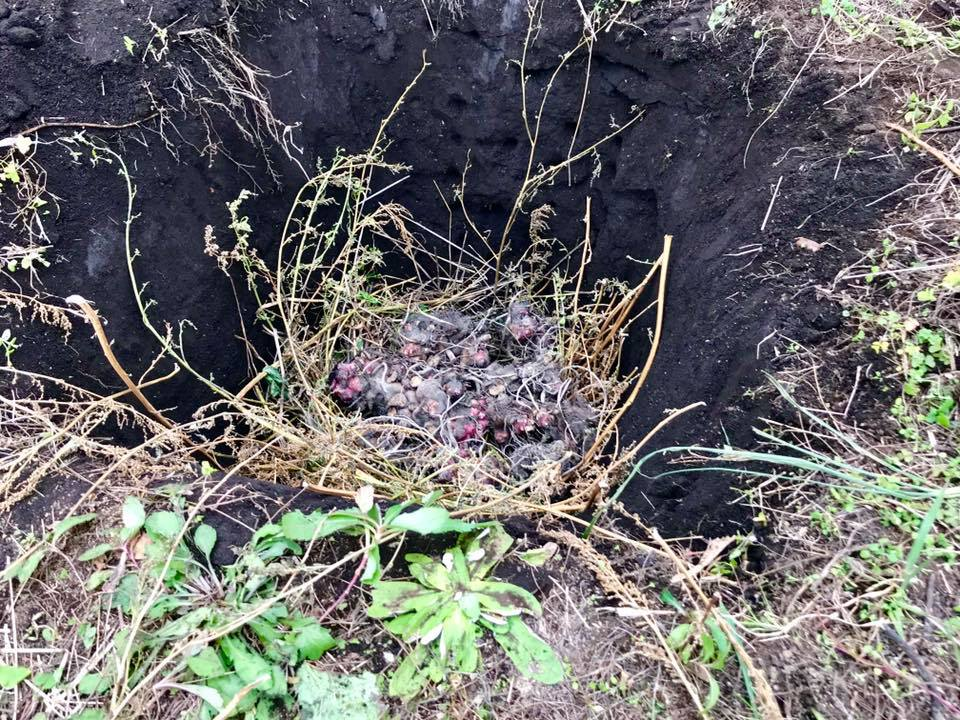 穴に埋めたヤーコンの塊茎
