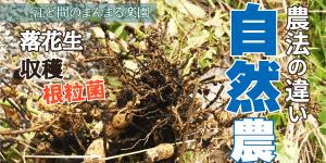 サムネイル-落花生収穫