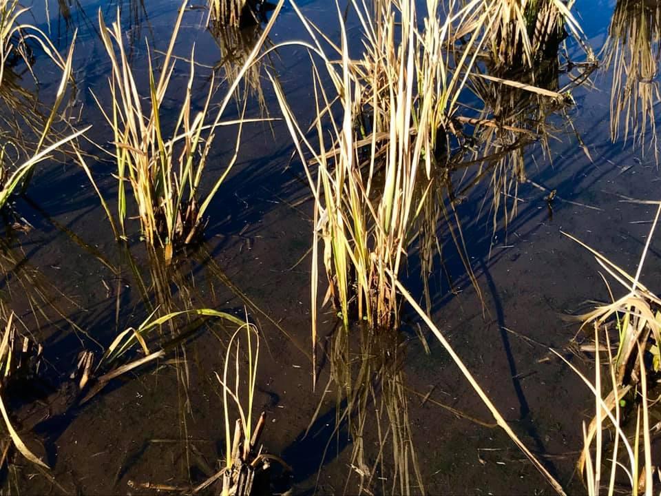 多年草化する稲