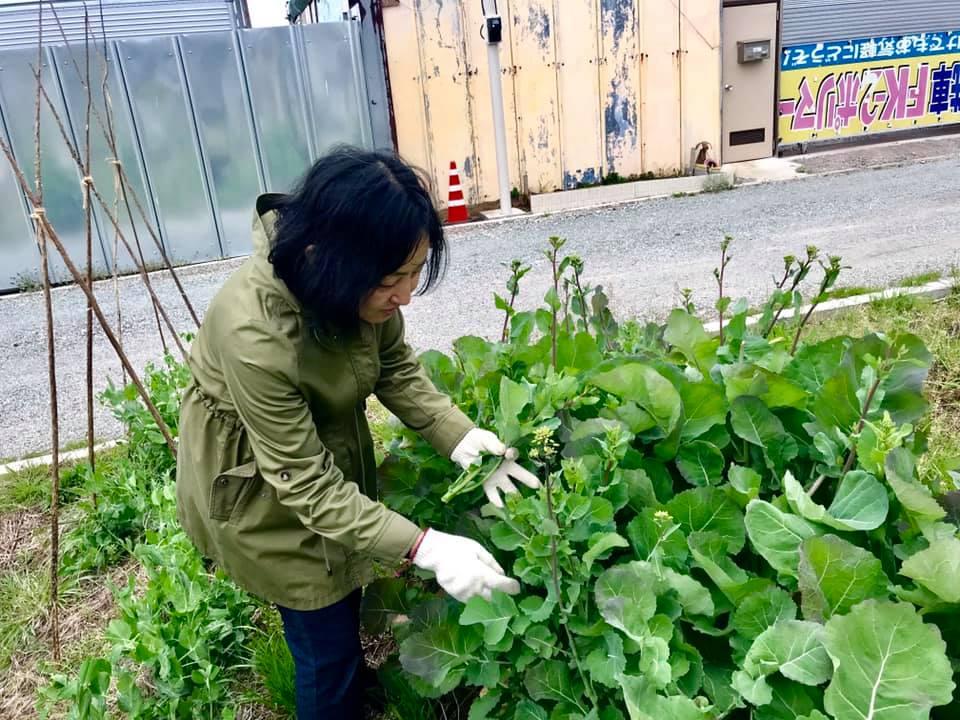 のらぼう菜を収穫しているところ
