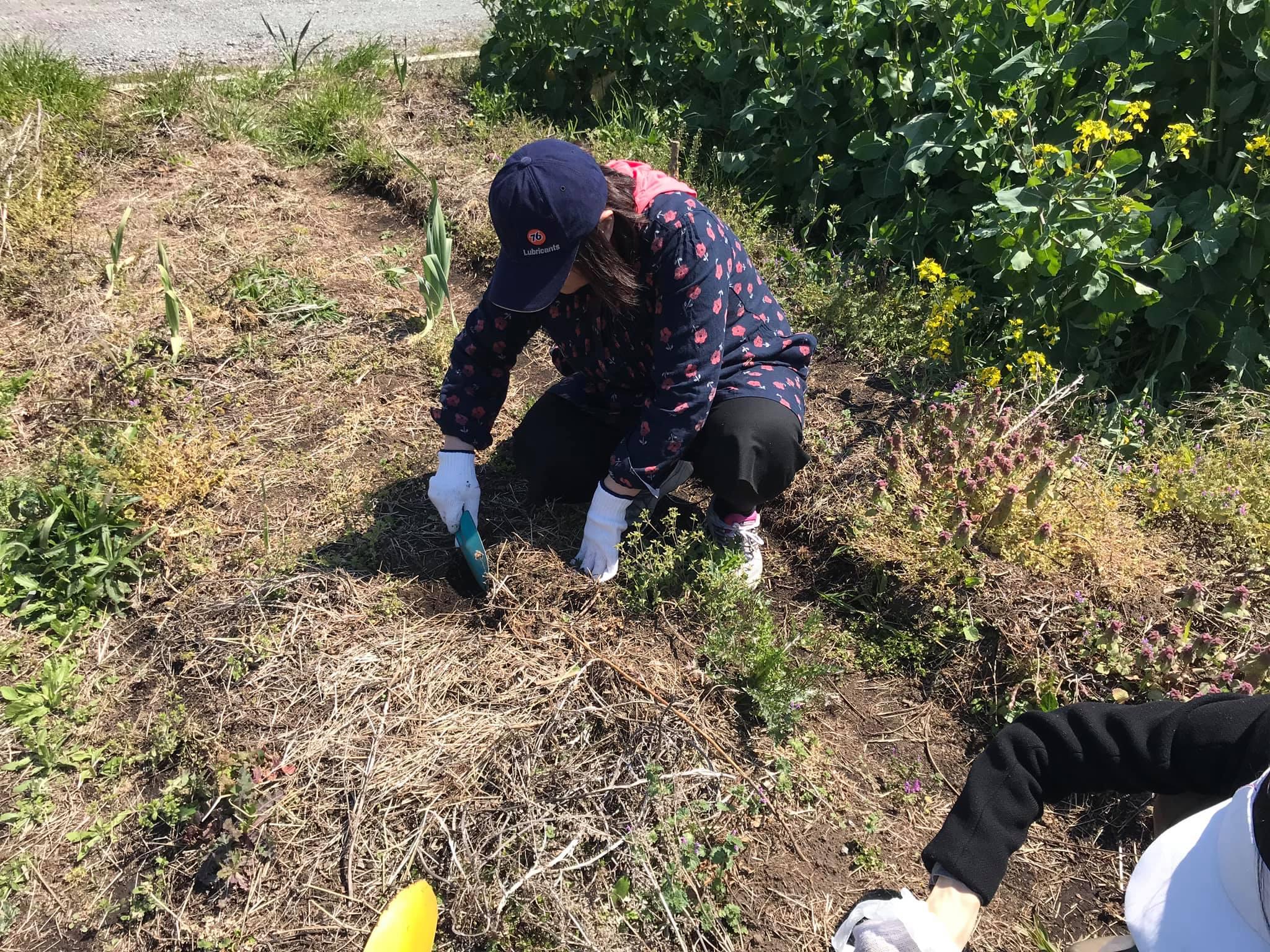種を降ろすために土の表面を削っているところ