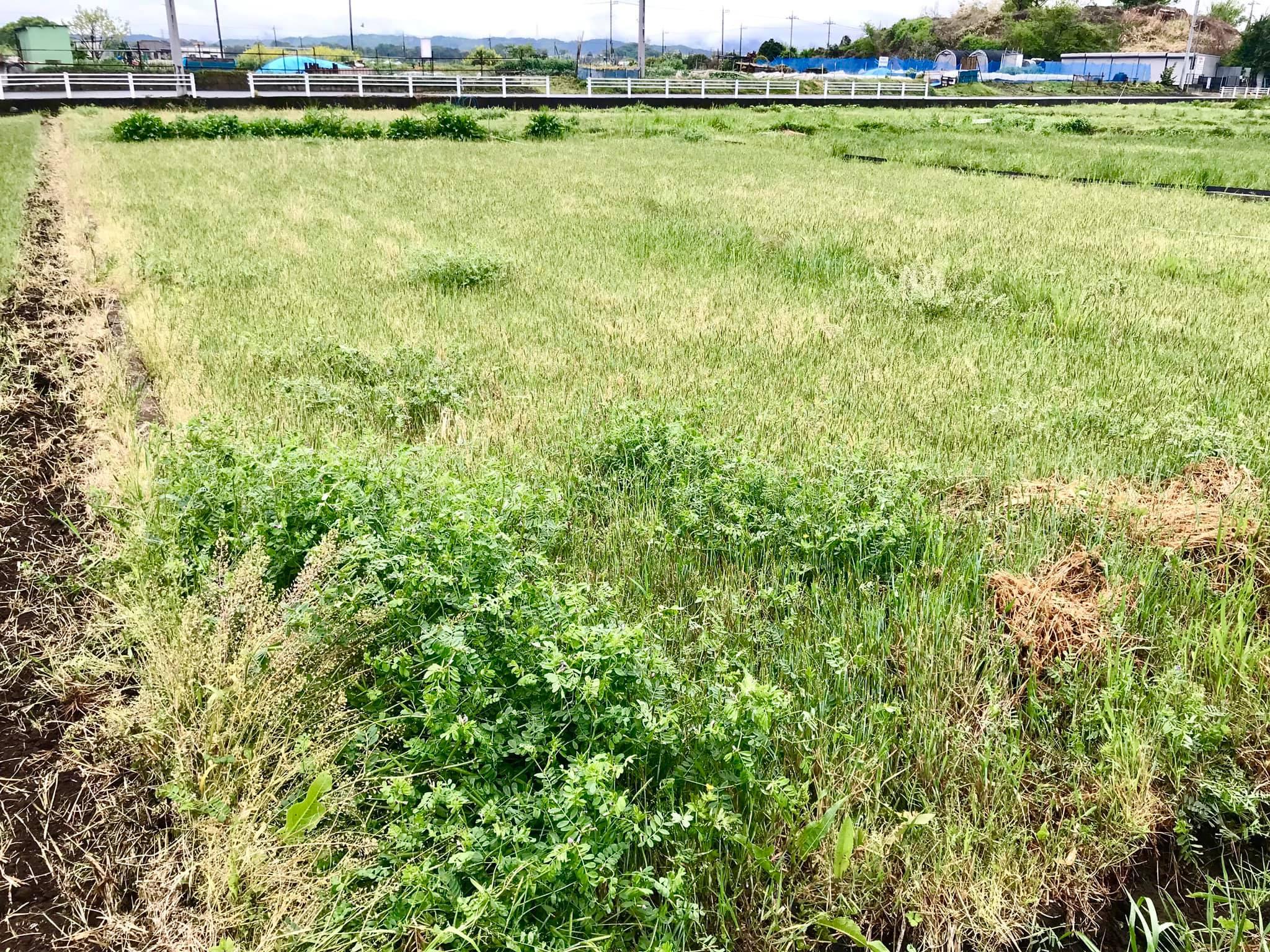 草刈り前の田んぼ