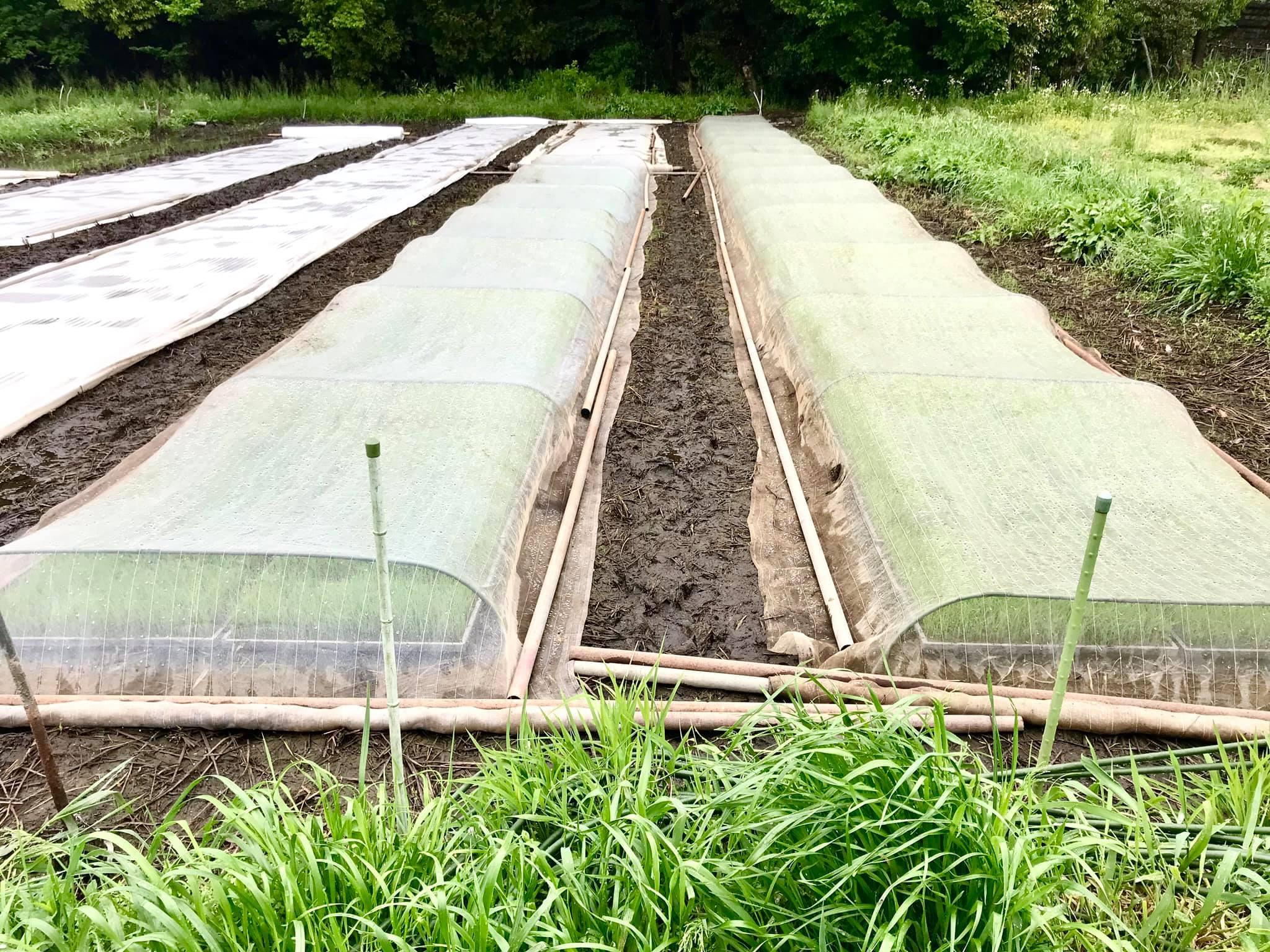先日作った苗床は、一斉に芽を出していました