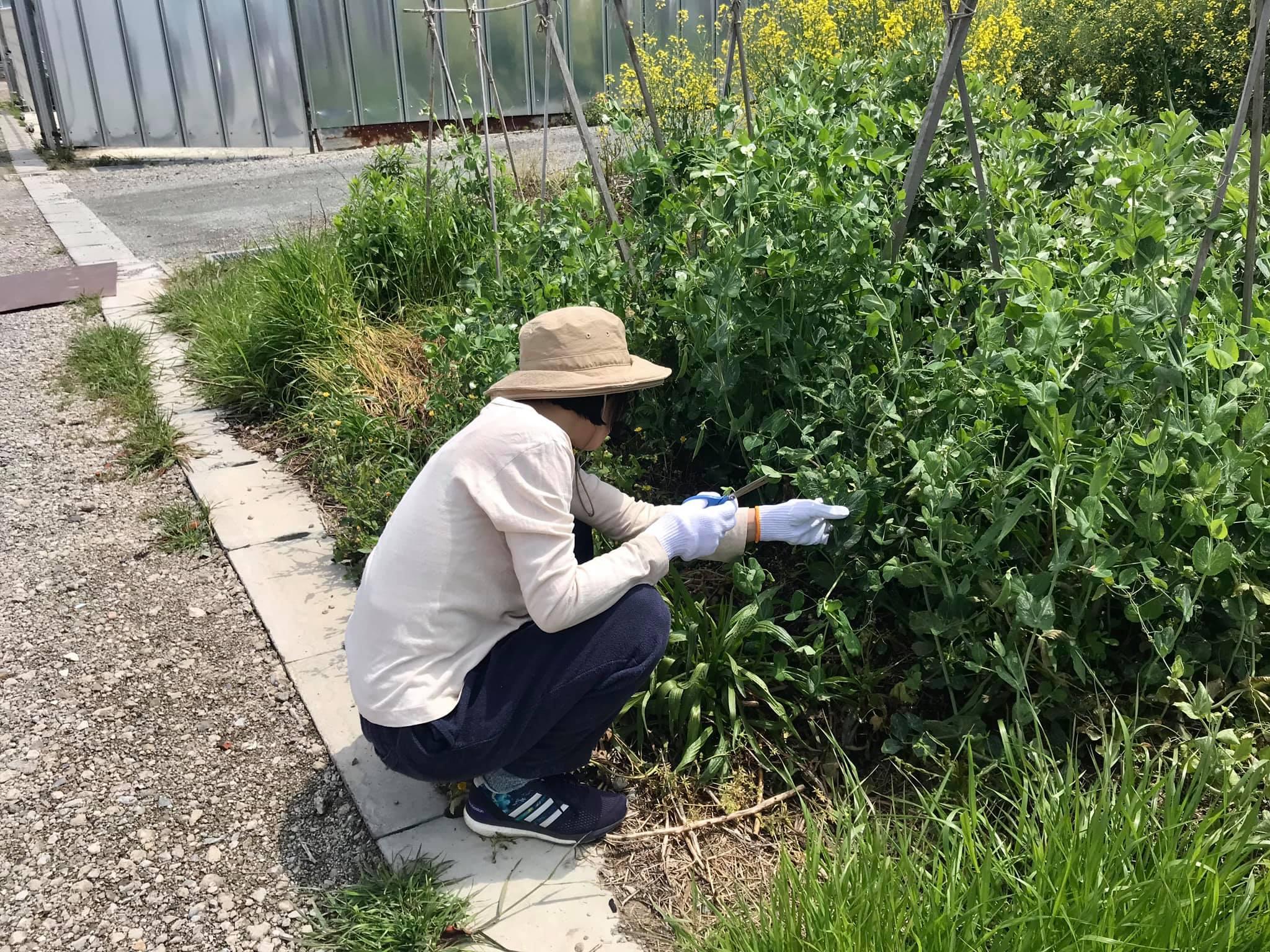 スナップエンドウを収穫中