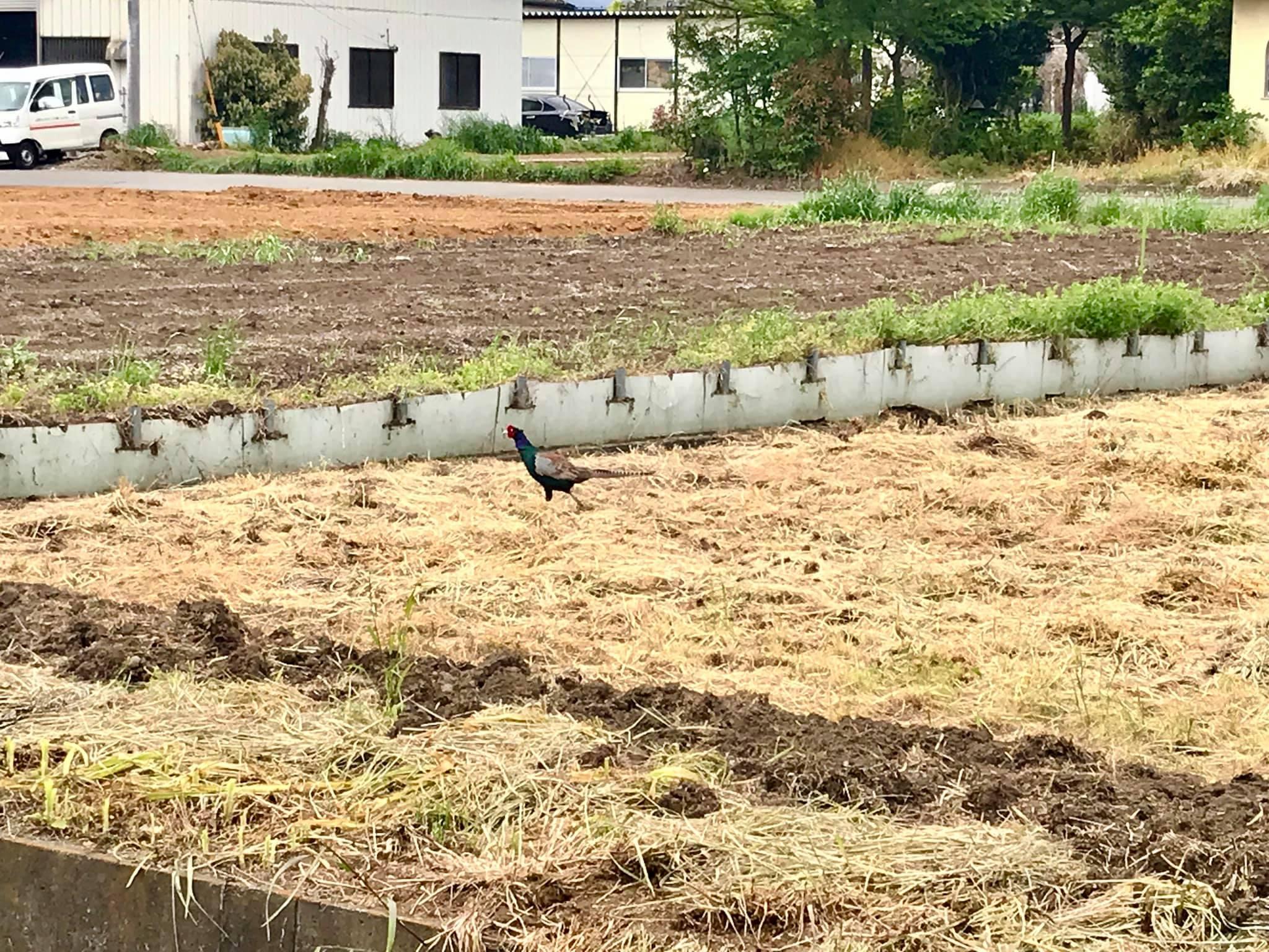 田んぼの近くで見かけたキジ。きれいな色ですね。