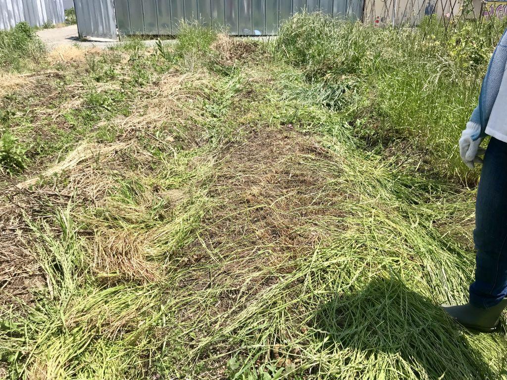大豆の種降ろしのために草刈りをしたところ