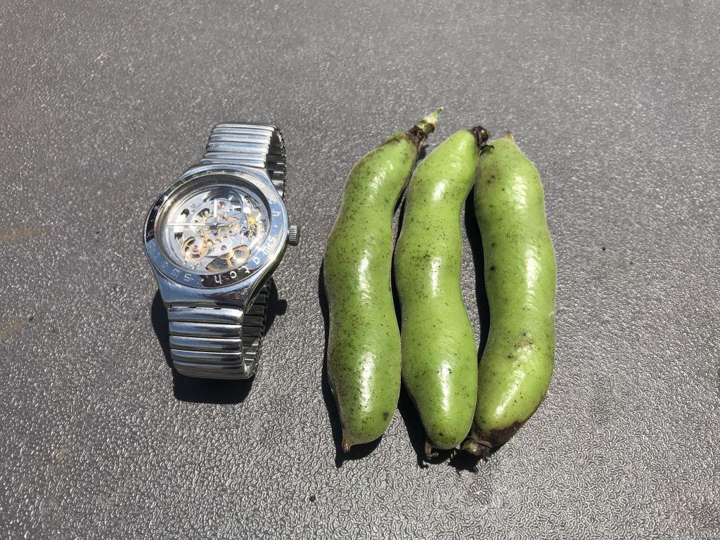 収穫したそら豆。サイズ比較のために腕時計とパチリ