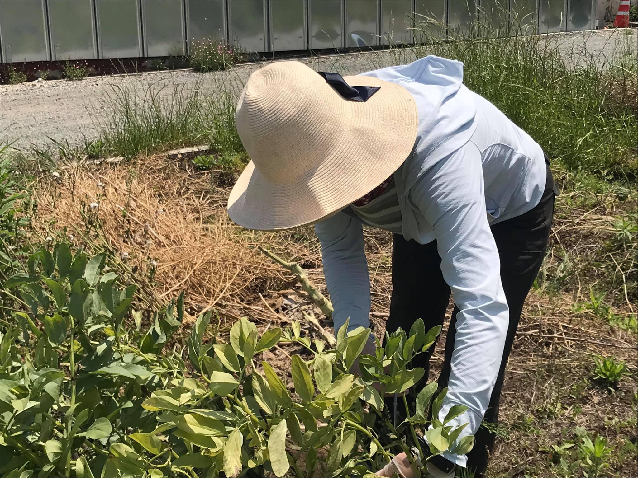 赤そら豆を収穫中