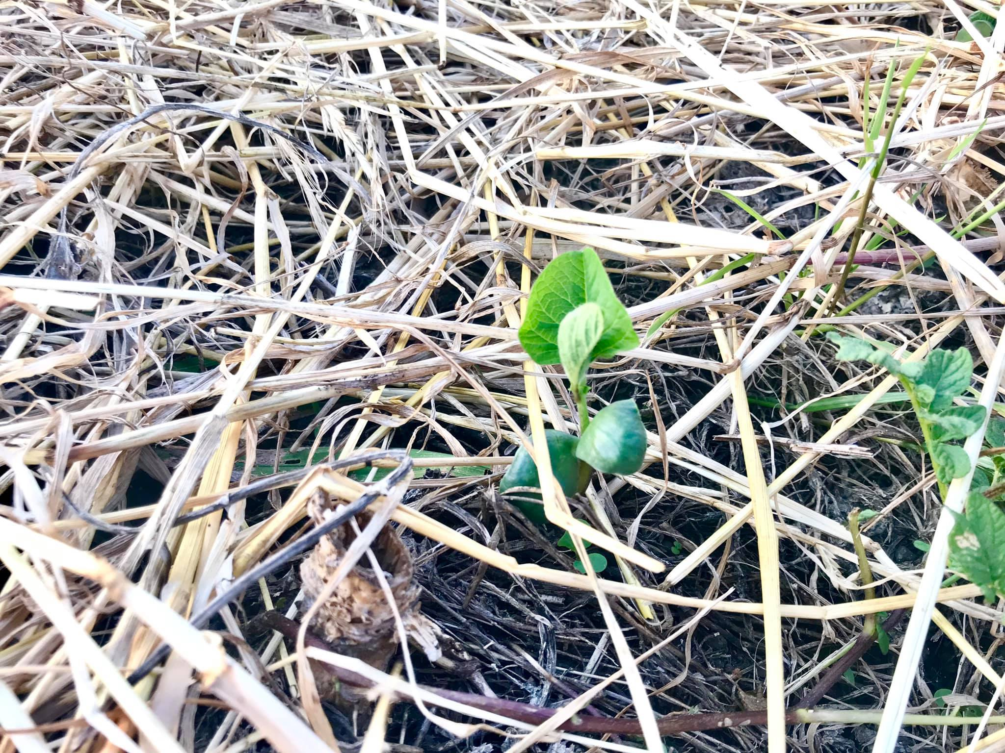 黒大豆の発芽の様子