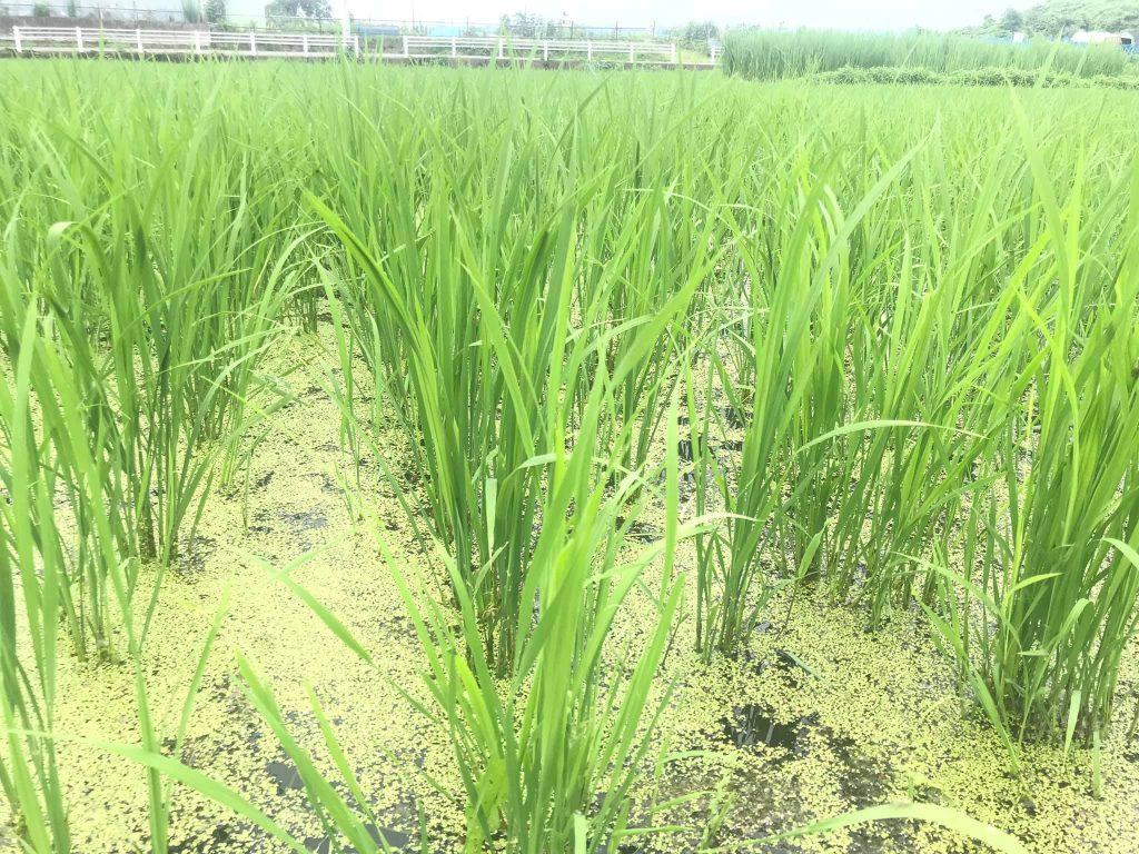田んぼに来てみたら、草がほんとに少ない