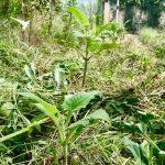 【自然農】初挑戦のヤーコン栽培、元気に育っています(2019/08/29)