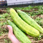 【自然農】去年は種が採れただけだったのが、今年はこんなに立派に!(2019/09/09)