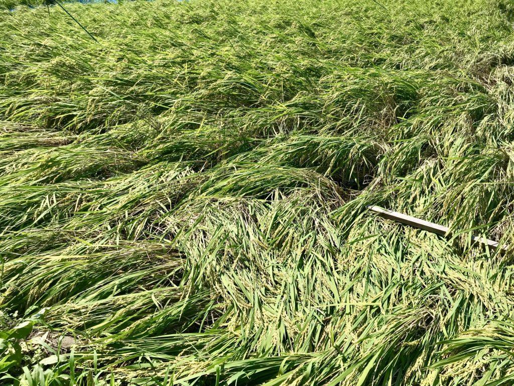 こちらがお隣さんの稲の状況