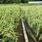 【自然農】台風に負けず、お隣と歴然の差!耕さないと強いお米になる!?(2019/09/10)