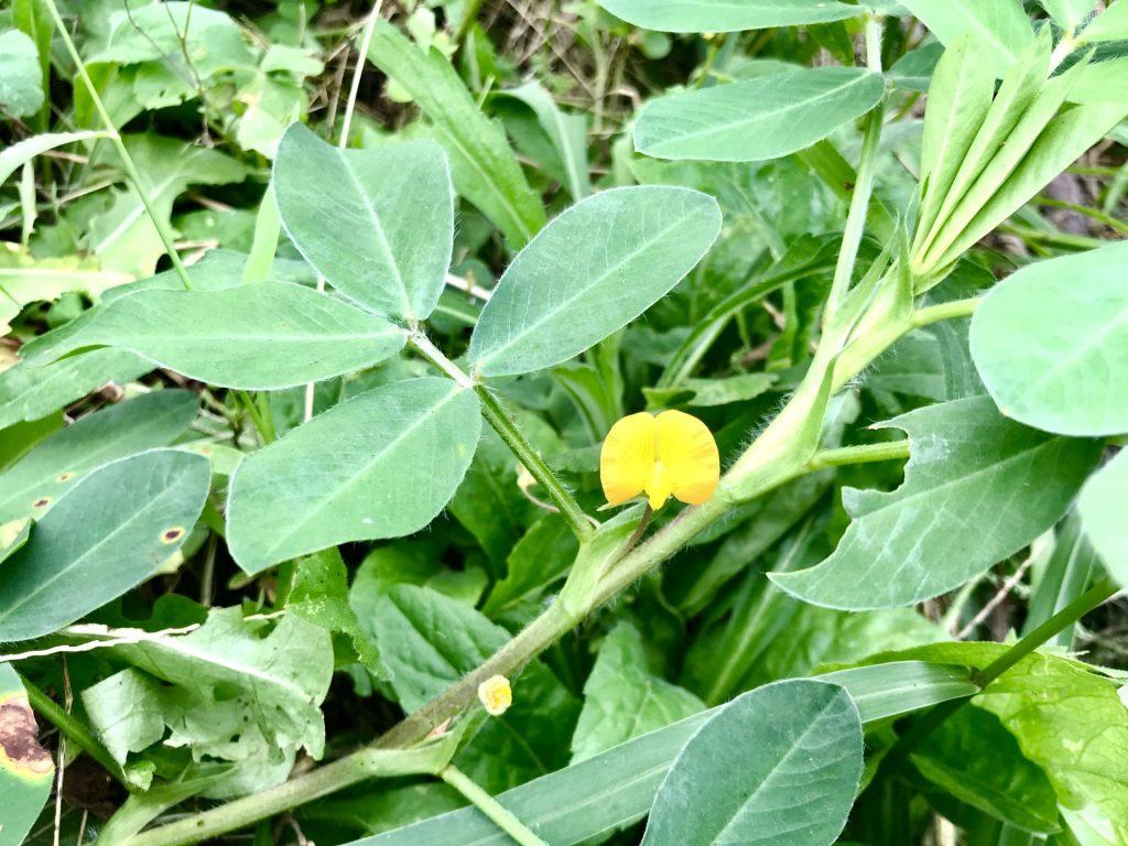 落花生の黄色い花