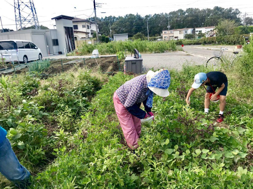穂紫蘇の収穫の様子