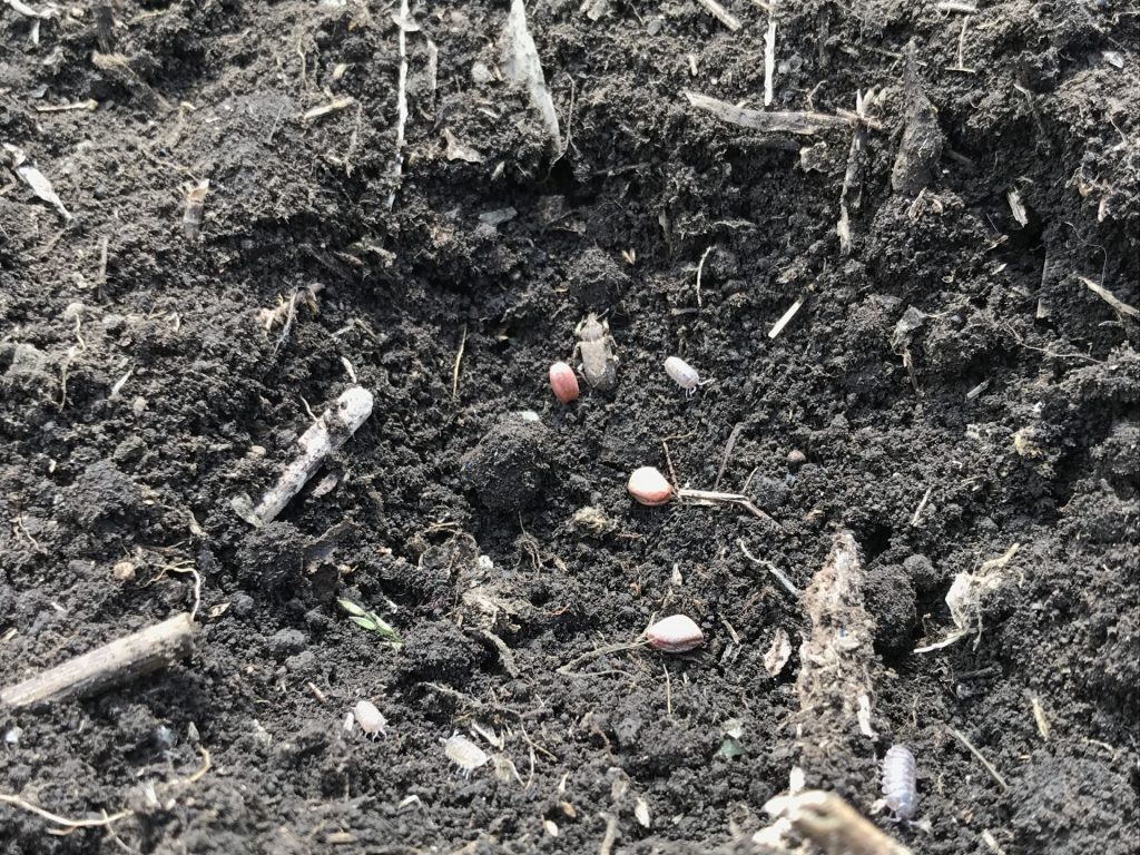 穴を掘って、種を3粒蒔いた所