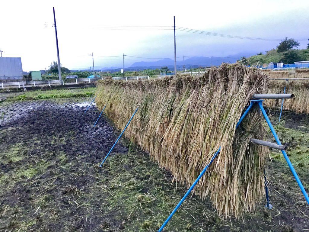 こちらが稲架掛け。2段に干すのを初めて見ました。