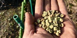自家採種したスナップエンドウの種