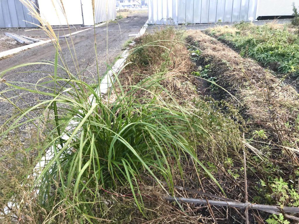 草刈り前の畝