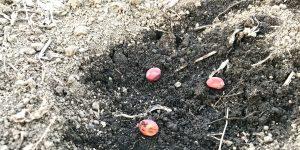 ツタンカーメンエンドウの種を3粒ずつ蒔きました