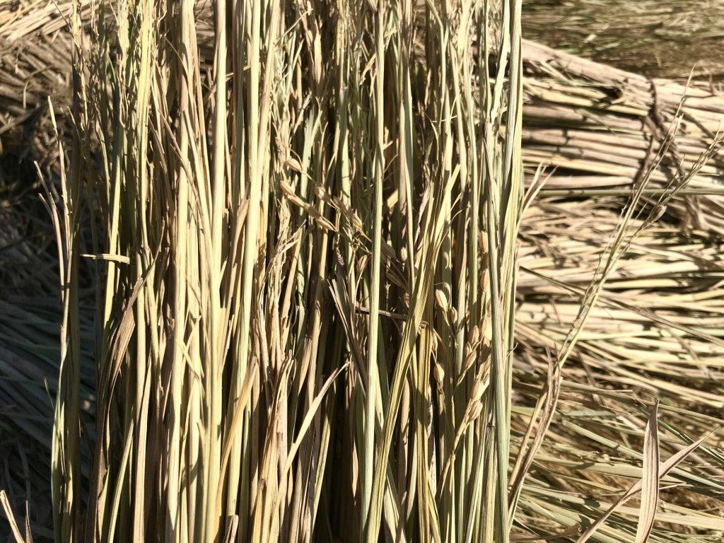 脱穀し終わったわらの中にも、お米が残っちゃうこともあります