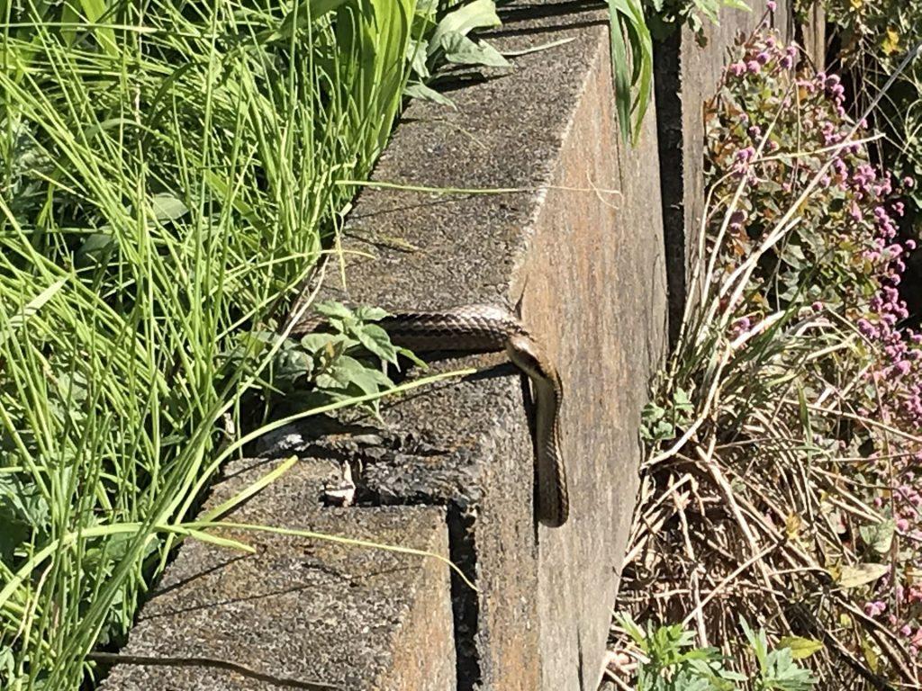 久しぶりに蛇を見ました!