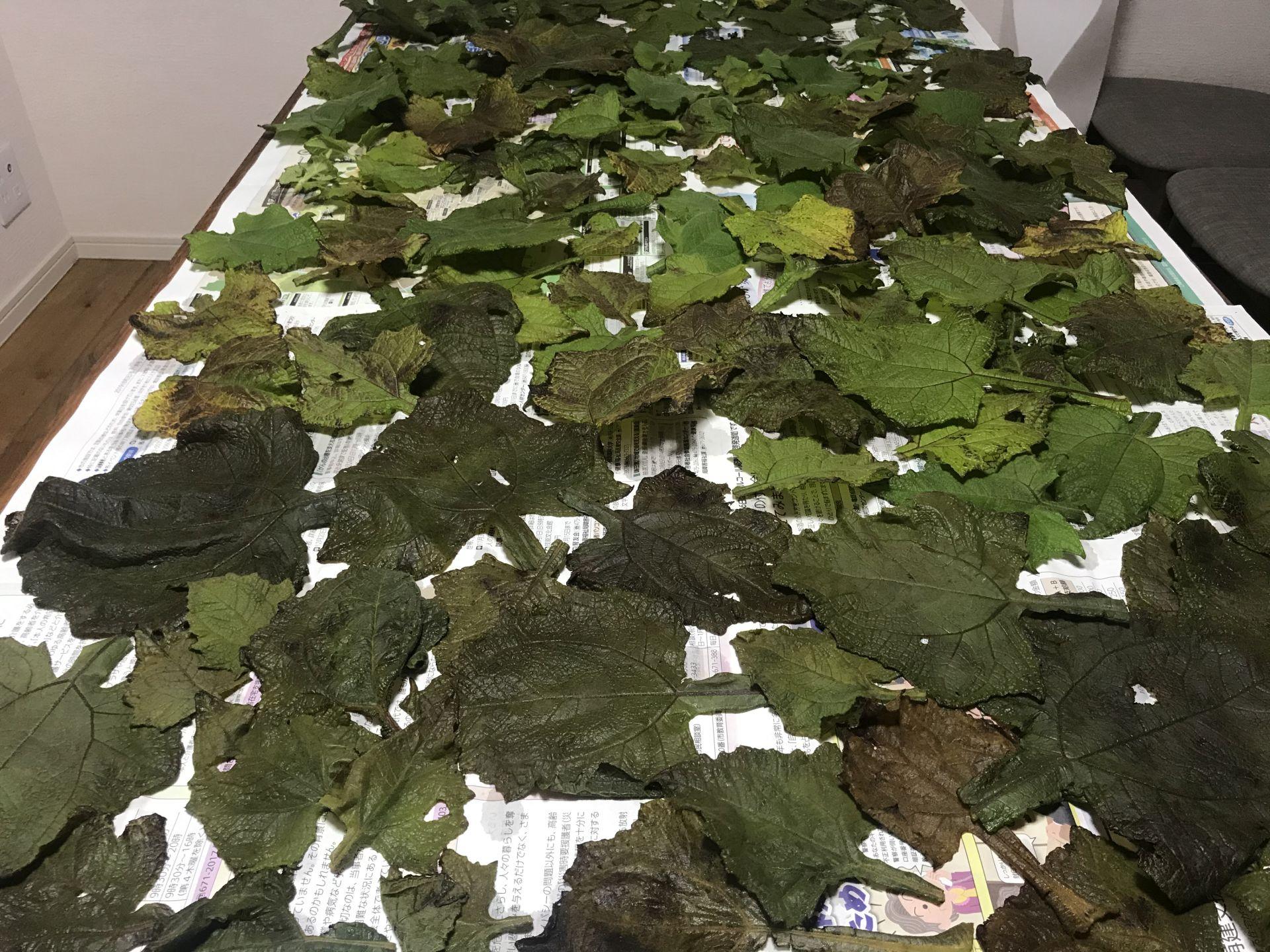 ヤーコンの葉を干しています