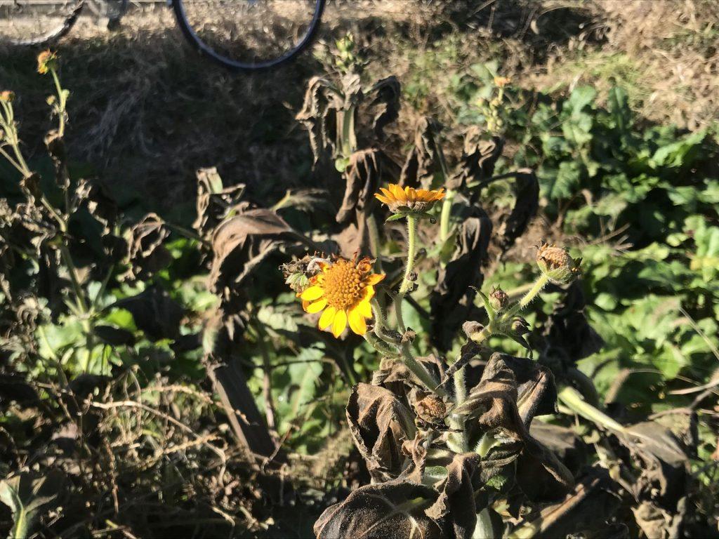この黄色い花はヤーコンの花です