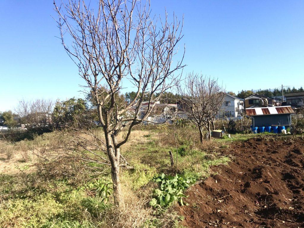 南北の境に3,4本植わっているのが柿の木です