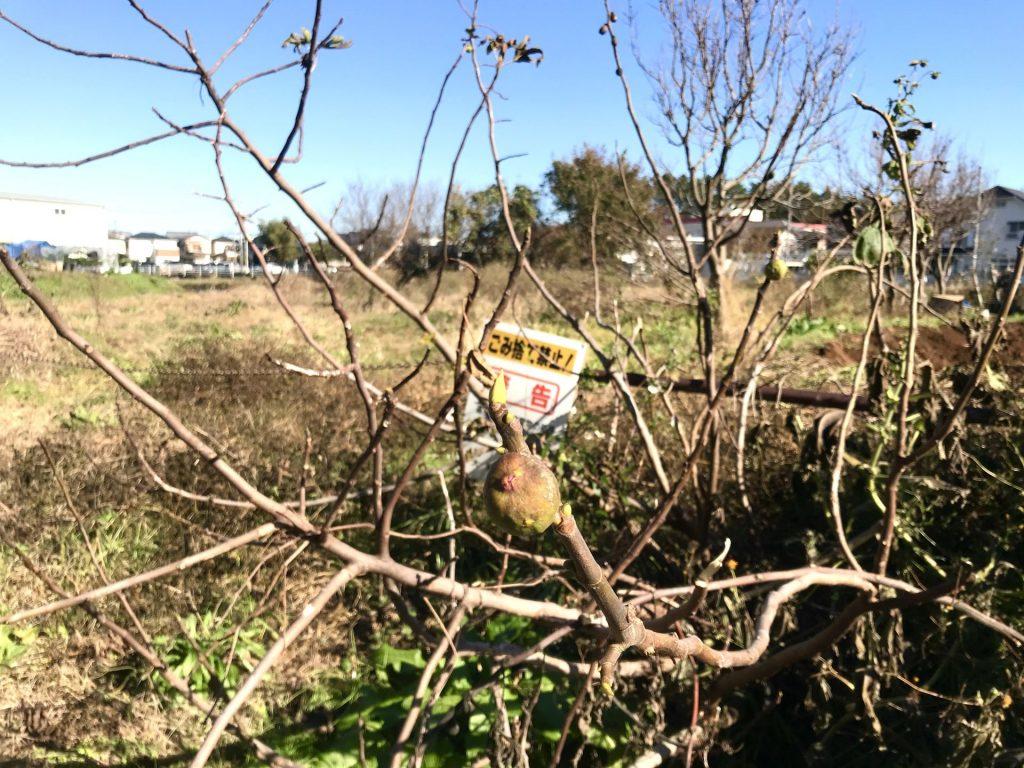 いちじくの木。小さな実がなっていました。