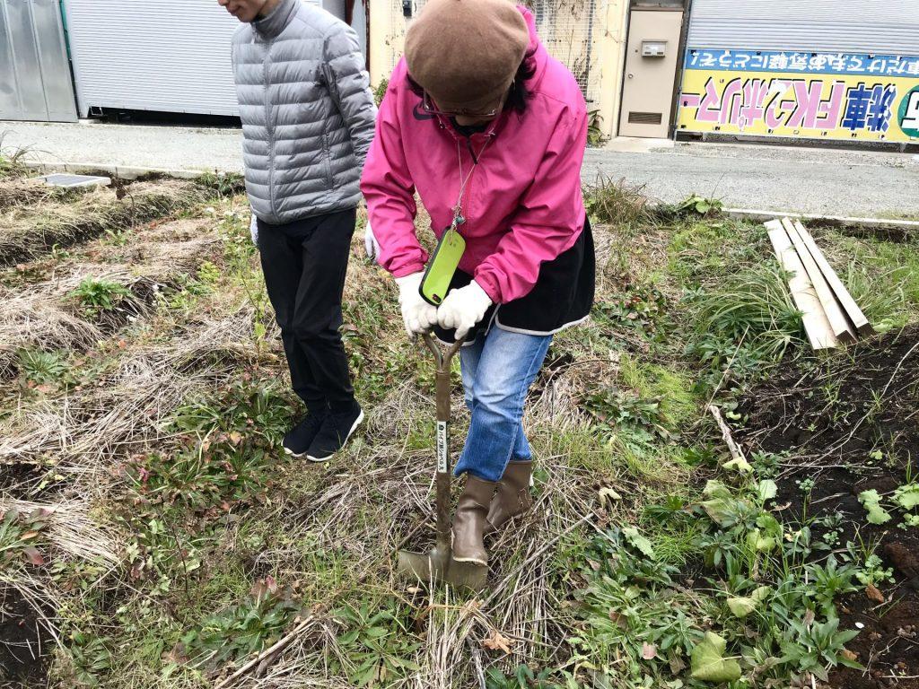 里芋を掘り出しています