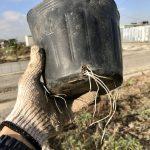 【自然農】巨大にんにくを植え替えたら、根っこがスゴイことに(2019/12/25)