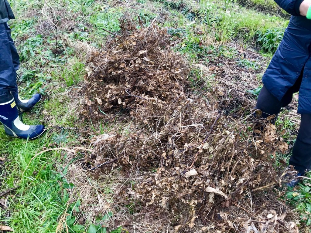 収穫した黒大豆