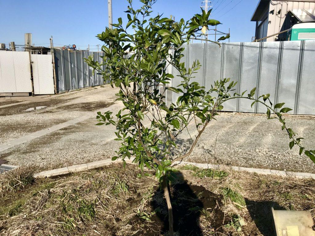 思いがけず頂いたみかんの木を植えました