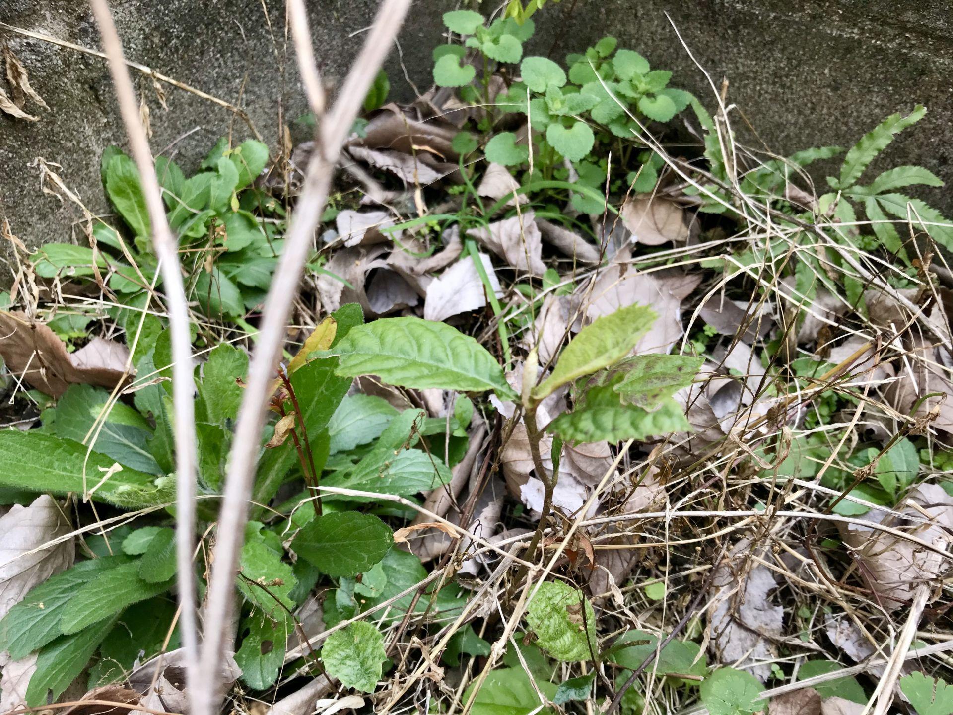 諦めかけていた枇杷の木が育っていました