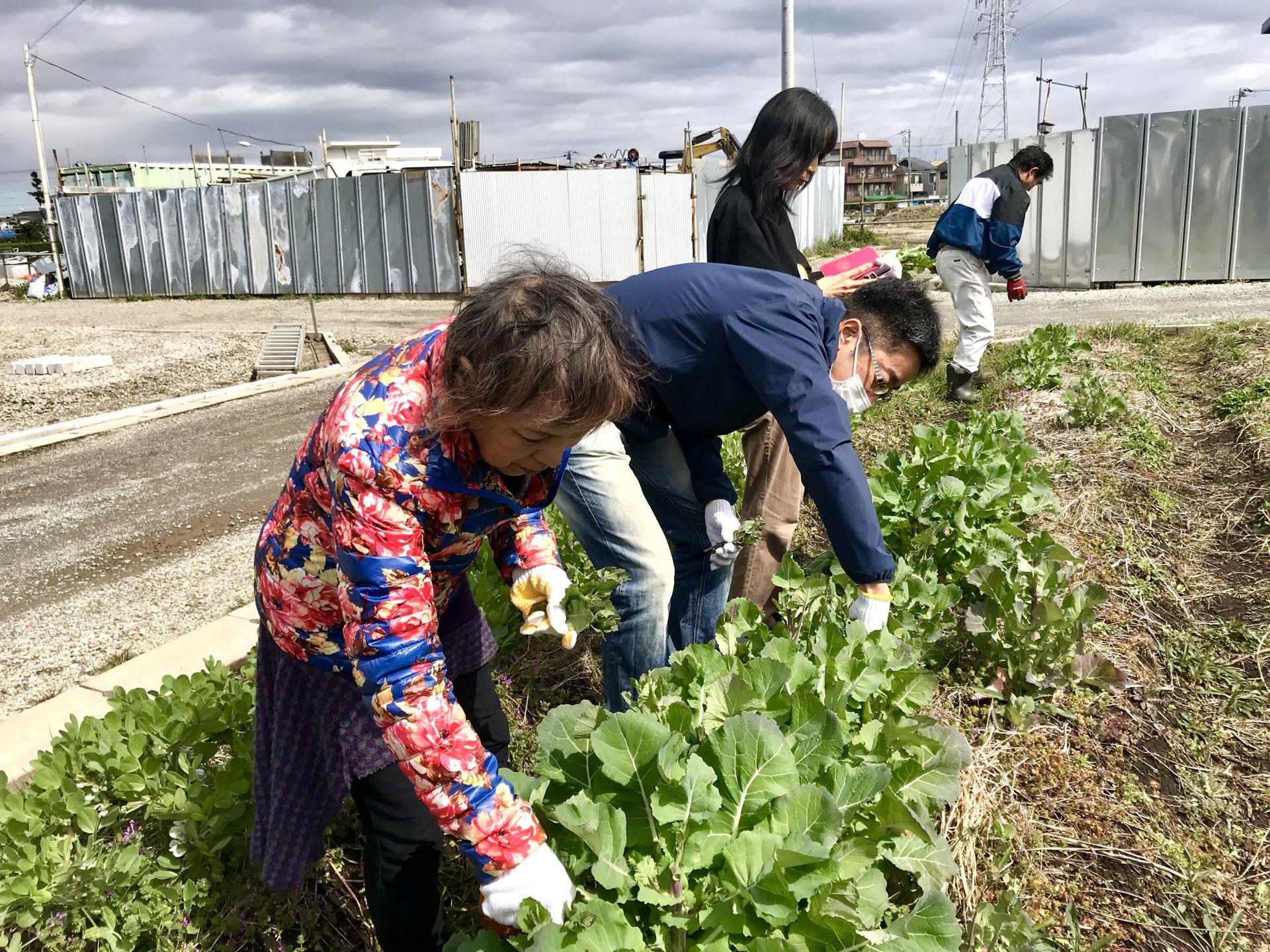 のらぼう菜の収穫風景