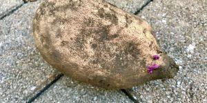栗黄金という品種のさつまいもの種芋。すでに紫色の芽がでていますね。